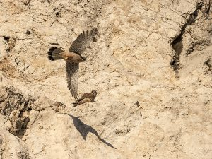 Les Faucons